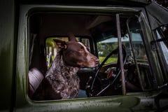 Australian Kelpie Dog stock photo