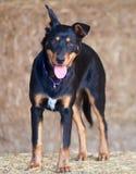 Australian Kelpie Pup Royalty Free Stock Photos
