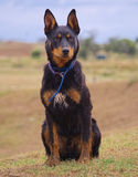 An Australian Kelpie waiting to work. Stock Photography