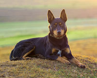 Australian Kelpie in the warm light. Stock Images