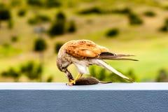 Australian kestrel Nankeen Kestrel, Falco cenchroides eating mouse royalty free stock photography