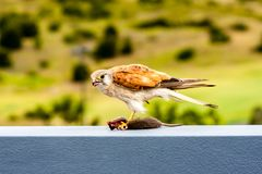 Australian kestrel Nankeen Kestrel, Falco cenchroides eating mouse. Wildlife. Australia stock photo