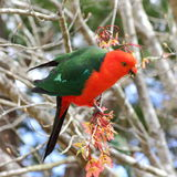 King Parrot bird Australian wildlife. A colorful Australian King Parrot male bird in the Blue Mountains, feasting on a fruiting tree Stock Image