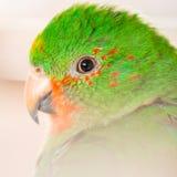 The Australian King Parrot aka muaiz Alisterus scapularis Stock Photos