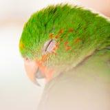 The Australian King Parrot aka muaiz Alisterus scapularis Royalty Free Stock Photos