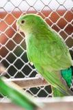 The Australian King Parrot aka muaiz Alisterus scapularis Royalty Free Stock Photography