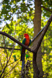 Australian king parrot Stock Photos