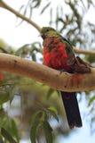 Australian King Parrot (Alisterus scapularis) Royalty Free Stock Image