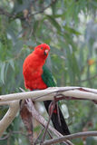 Australian King Parrot (Alisterus scapularis). Male Australian King Parrot (Alisterus scapularis) sitting on a branch in Kennett River at the Great Ocean Road Stock Photo