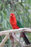 Australian King Parrot (Alisterus scapularis). Sitting on a branch in Kennett River at the Great Ocean Road, Victoria, Australia Stock Image