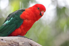 Australian King Parrot (Alisterus scapularis). Sitting on a branch in Kennett River at the Great Ocean Road, Victoria, Australia Stock Photography