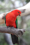 Australian King Parrot (Alisterus scapularis). Sitting on a branch in Kennett River at the Great Ocean Road, Victoria, Australia Royalty Free Stock Photos