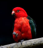 Australian King Parrot stock images