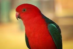 Australian King Parrot close up Stock Photography