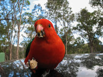 Australian King Parrot Closeup. Australian King parrot looking onto the camera and holding a piece of bread stock image