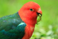 Australian king parrot Stock Photography