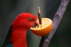 Australian King Parrot Eating An Orange Stock Photo