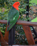 Australian King Parrot Royalty Free Stock Image