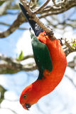 Australian King Parrot hanging down Royalty Free Stock Images