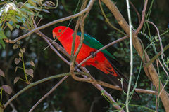 Australian King Parrot. Perched resting in a rainforest, on the alert Royalty Free Stock Photos