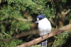 Australian Kingfisher. Little Kingfisher Alcedo pusilla Australias smallest kingfisher royalty free stock images