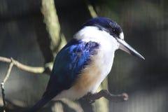 Australian Kingfisher. Little Kingfisher Alcedo pusilla Australias smallest kingfisher royalty free stock photos