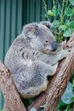 Australian Koala. Australian iconic animal, Koala bear. Grey animal on green tree background Stock Photo