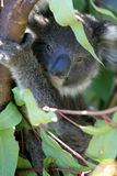 Australian Koala Stock Image