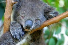 Australian Koala Stock Images
