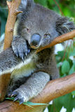 Australian Koala Royalty Free Stock Photography