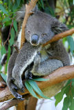 Australian Koala royalty free stock photos