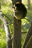 Australian Koala royalty free stock photos