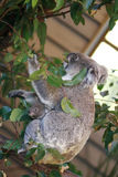Australian Koala. Koala in tree with baby in pouch Royalty Free Stock Photos