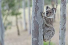 Australian koala. Is climbing on the tree in the forest stock photos