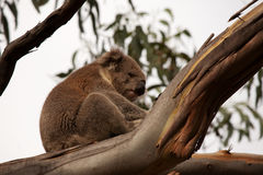 Australian koala bear Stock Photography