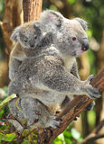 Australian koala bear carrying cute baby. Australian Koala Bear with her baby, Sydney, Australia grey bear Stock Photo