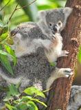 Australian koala bear with cute baby australia. Australian Koala Bear with her baby in eucalyptus tree , Sydney, Australia royalty free stock images