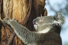 Australian koala bear on eucalyptus tree, Victoria, Australia. Stock Photos