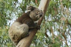 Australian koala bear on eucalyptus tree, Victoria, Australia. Royalty Free Stock Images