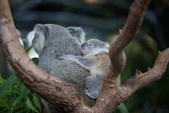 Australian Koala Bear with her baby or joey in eucalyptus or gum tree. Royalty Free Stock Photography