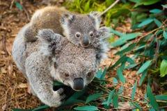 Australian koala bear native animal with baby. On the back stock images