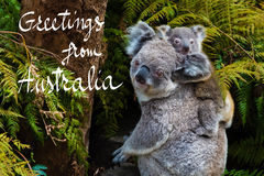 Australian koala bear native animal with baby and Greetings from Australia text. Australian koala bear native animal with baby on the back and Greetings from Royalty Free Stock Photo