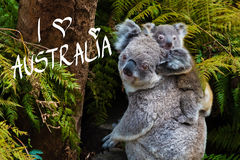 Australian koala bear native animal with baby and I Love Australia text. Australian koala bear native animal with baby on the back and I Love Australia text Stock Photo