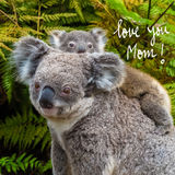 Australian koala bear native animal with baby and Love You Mom text Royalty Free Stock Images