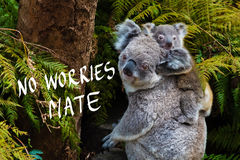 Australian koala bear native animal with baby and No Worries mate text Stock Images