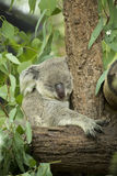 Australian koala bear sitting on a branch Stock Image