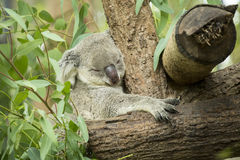 Australian koala bear sitting on a branch Royalty Free Stock Photos