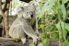 Australian koala bear sitting on a branch Stock Photography