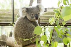 Australian koala bear sitting on a branch Royalty Free Stock Photo