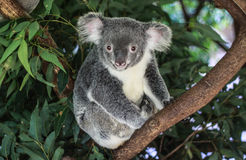 Portrait of Koala bear. Enchanting portrait of Koala bear resting on a branch of a gum tree with leafy forest background royalty free stock photos